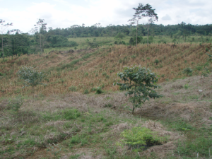 Rows of corn planted between rows of trees in the Triumvirate Carbon-Offset Forest. Photo taken April 24, 2009