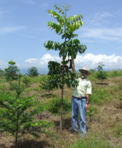 The Superior Nut Company Forest; Mahogany Tree