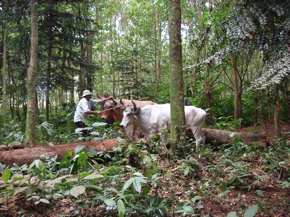 Oxen hauling logs during a periodic thinning of a RTT carbon-offset forest