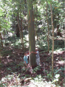 A nine-year-old deglupta hybrid tree in the Connecticut College Carbon-Offset Forest.  Photo taken Feb. 4, 2009.