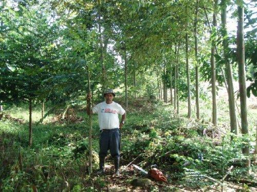 Pruning the mahogany...
