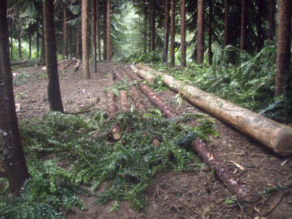 Klinkii Thinning at Superior Nut Company Forest