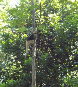 An anteater climbs a deglupta tree